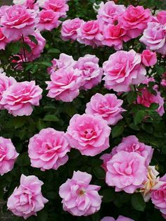 Queen Elizabeth Rose, Pink Roses, Pink Flowers, Earth Song, Rose Varieties, Coming Up Roses, Rose Bush, Love Rose, Gardens