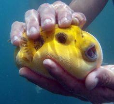 #Yellow Puffer Fish