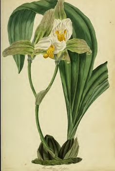 All sizes | Lycaste deppei (Lodd. ex Lindl.) Lindl. Paxton's Magazine of botany and register of flowering plants vol. 2 (1836). This is a public domain illustration. Right click to download and use as you choose.