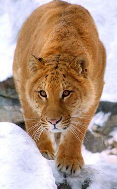 Tiguar - Hybrid cross between a male tiger and a female jaguar