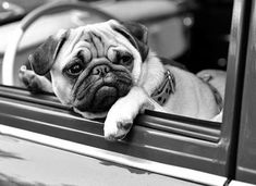 """Hop in human. We're going shopping for treats."" www.jointhepugs.com #pug"