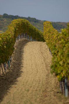 Weinreben Großhöflein/Burgenland Glamping, Vineyard, Country Roads, Outdoor, Vineyard Vines, Wine Vineyards, Outdoors, Go Glamping, Vine Yard
