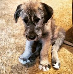 Meet Kingston. He will grow to be a giant Irish Wolfhound. http://ift.tt/2mazzMd