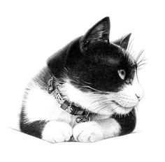 cat-Pencil drawing