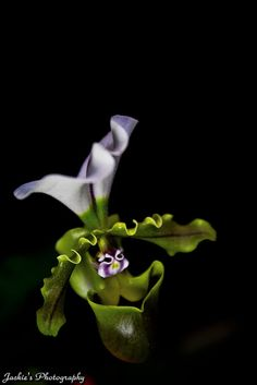 Paphiopedilum,  by Jackie's Photography