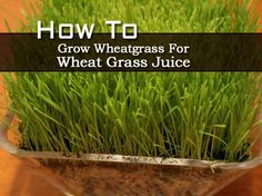 How to Grow Wheatgrass For Wheat Grass Juice