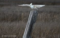 A Snowy Egret preparing for take-off in this morning's blustery wind. New Hair Do, Galveston Island, Bird, Photography, Animals, Collection, Photograph, Animales, Animaux