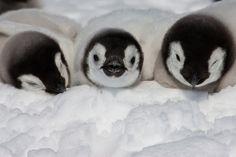 baby emperor #penguins