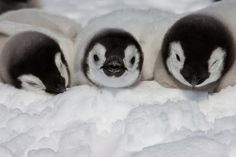 baby emperor #penguins