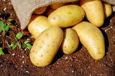 Most people wouldn't think of eating a raw potato. That's because they don't know about the many health benefits of eating white potatoes in their raw form. Eating Raw Potatoes, Making Mashed Potatoes, How To Cook Potatoes, Grow Potatoes, Healthy Potatoes, Weight Loss Meals, Losing Weight, Jugo Natural, Fresh Potato