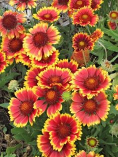 Blanket flower: Give these red or orange daisy-like flowers full sun, and they'll bloom from summer deep into fall. Another plus: These drought-tolerant flowers attract butterflies, not deer. See more easy-care plants: http://www.midwestliving.com/garden/ideas/25-top-easy-care-plants-for-midwest-gardens/