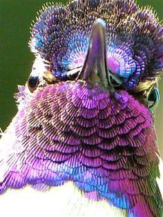Iridescence of Costa's Hummingbird's Feathers