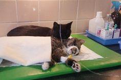 Lähellä kuolemaa käynyt koditon kissa pitää nykyään huolta eläinlääkärissä olevista sairaista eläimistä   Vivas
