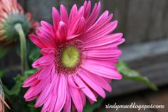 The End Of May In The Backyard - Pink Gerber Daisy