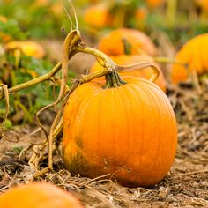 Crafters Choice™ Pumpkin Pickin Fragrance Oil 783 - An inviting fall scent of ripened pumpkin warmed with freshly ground nutmeg.