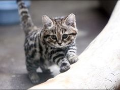 Image result for black footed cat