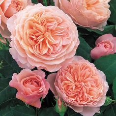 Rosa 'William Morris'. Lovely apricot-pink flowers in the shape of loose rosettes. Powerful fruity tea fragrance. Good repeat-flowering. Extremely hardy and reliable.