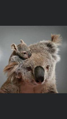 - Estás en el lugar correcto para receita fit Aquí presentamos livro de receita que está buscando - Cute Baby Animals, Animals And Pets, Funny Animals, Cute Animal Photos, Funny Animal Pictures, Young Animal, My Animal, Australia Animals, Tier Fotos