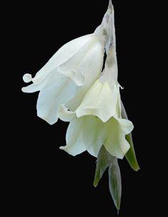 Dierama luteoalbidum .Wandflower. D Flowers, White Flowers, Planting Flowers, Beautiful Flowers, Temple Bells, Crocosmia, Fairy Wands, Iris, Flower Pictures
