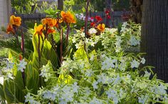 This is Canna and Nicotiana flowering in my garden in Cypress, Texas in May 2017.