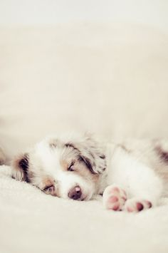 Sleeping red merle Aussie puppy.