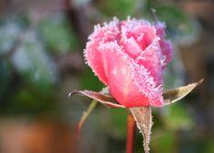 Kuvia neljästä vuodenajasta: Pakkasaamun kauneutta Flowers, Royal Icing Flowers, Flower, Florals, Floral, Blossoms