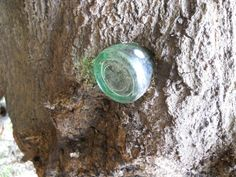 Texas Parks and Wildlife - Fairfield Lake State Park  Like This Page · Sunday    One of our Rangers found this tree growing into the bottle.