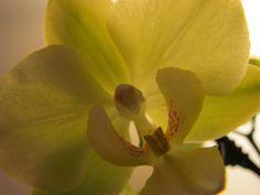 Green Orchid...I Call Him Oscar.