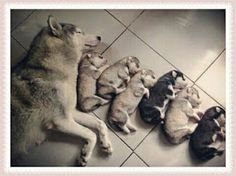 Here are ten videos of mama dogs and their puppies that show how truly special their relationships and bonds are. Here are ten videos of mama dogs and their puppies that show how truly special their relationships and bonds are. Cute Animals Puppies, Baby Puppies, Cute Baby Animals, Funny Animals, Animals Images, Funny Dog Pictures, Cute Animal Pictures, Funny Babies, Funny Dogs