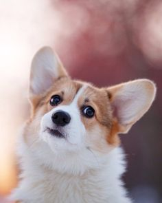 "Discover more relevant information on ""corgi puppies:. Take a look at our site. Pembroke Welsh Corgi Puppies, Corgi Dog, Dog Cat, Corgi Puppies For Sale, Cute Puppies, Dogs And Puppies, Cute Baby Animals, Funny Animals, Blue Merle"