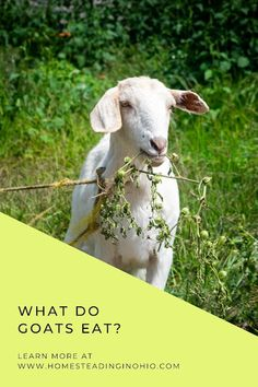 What do goats eat? Learn what do goats like to eat and what can goats not eat. What do goats love to eat? A lot! They like hay, grass, and even some treats like fruits and vegetables. Learn about feed for goats and feeding goats in the winter.