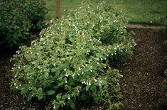 <i>Pulmonaria</i> 'Sissinghurst White'