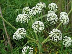Here are eight plants found in Canada that you'll want to admire from afar. Water Hemlock, Dried Lemon, Marigold Flower, Chicken Feed, Lemon Balm, Botanical Gardens, Vegetable Garden, Shrubs, Canada