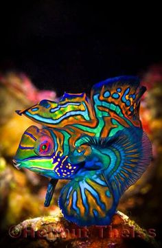 Mandarin Fish - by Helmut Theiss #Dragonet