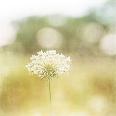 """""""Dreamy"""" Nature Art Print by Carolyn Cochrane Photography   Pale Yellow Queen Anne's Lace Photo"""