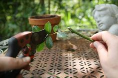 To cut roses: when and how? Planter Rosier, Garden Online, Permaculture, Planters, Gardening, Cuttings, Roses, Garden, Plant Cuttings