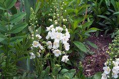 Verbascum phoeniceum Flush of white - Google Search