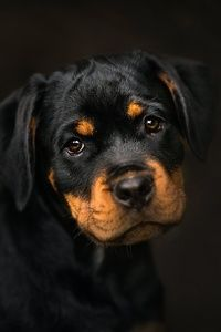 Rottweiler Animals Rottweiler Puppy Wallpaper
