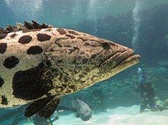 Giant Potato Cod (Epinephelus-tuku) Great Barrier Reef Australia