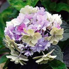 Spring Hill Nurseries 4 in. Pot Felicity Hydrangea Live Potted Plant Multi-Colored Flowers - The Home Depot Hydrangea Shrub, Hortensia Hydrangea, Hydrangea Macrophylla, Hydrangea Flower, Incrediball Hydrangea, Flowers Garden, Spring Flowers, Hydrangea Varieties, Bud Flower
