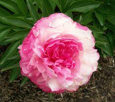 Double Peony 'Rose Heart' (aka 'Bess Bockstoce') (Paeonia hybrida)
