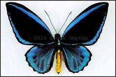 Ornithoptera Priamus Caelestis -Male -Recto -Misima Island, Milne Bay Province, Papua New Guinea -(4.5 in wingspan)