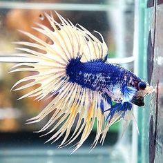 Betta-Fish-Male-Fancy-Marbled-Deep-Blue-Yellow-Muscle-Body-Crowntail