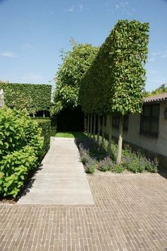 75 Extraordinary Evergreen Pleached Trees for Outdoor Landscaping - Page 3 of 80