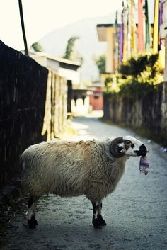 Sheep with Sock