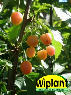 Prunus avium 'Viljandin makea', sötkörsbär. Estnisk sort sort, kräver pollinerare. Virolainen lajike joka vaatii pölyttäjä. Zon/Vyöhyke I-?