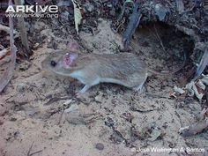 Yonenaga's Atlantic spiny-rat -endangered