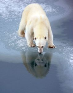 Beautiful and prescient with the ice melt perhaps there will only be spirit polar bears.