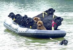 Newfoundland dog towing boat load of Newfies.