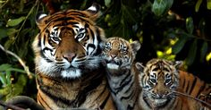 Sumatran Tiger, Mother and Cubs. Tiger Pictures, Animal Pictures, White Tiger Cubs, White Lions, White Tigers, Amazing Beasts, Tiger Moms, Save The Tiger, Dangerous Animals